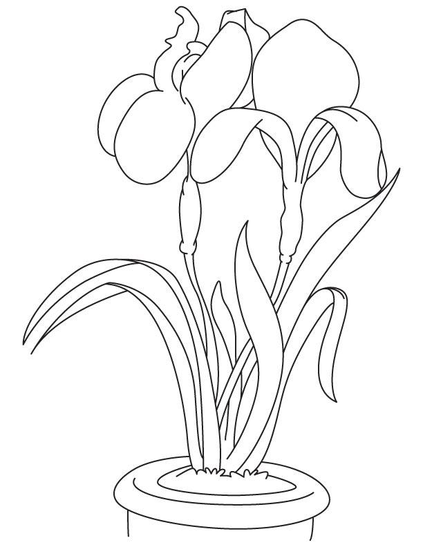 Iris garden flower coloring page