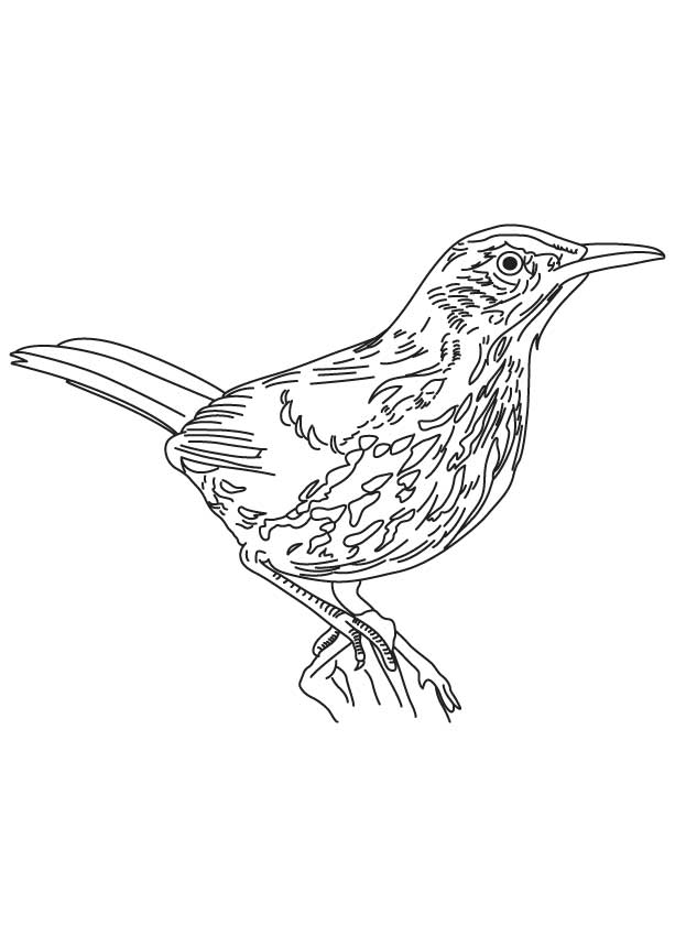 Long tailed brown thrasher coloring page