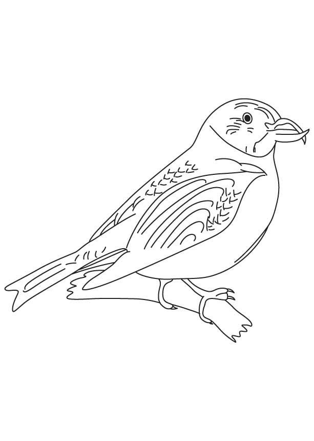 Scottish crossbill coloring page