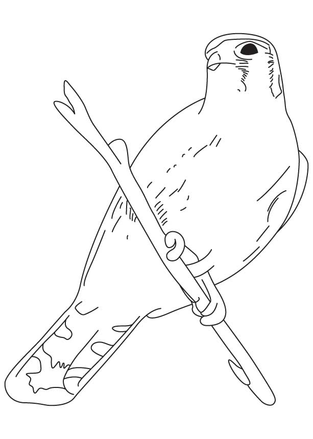 sparrow hawk coloring page