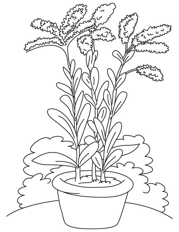 goldenrod coloring page   Download Free Blooming goldenrod coloring    Goldenrod Coloring Page
