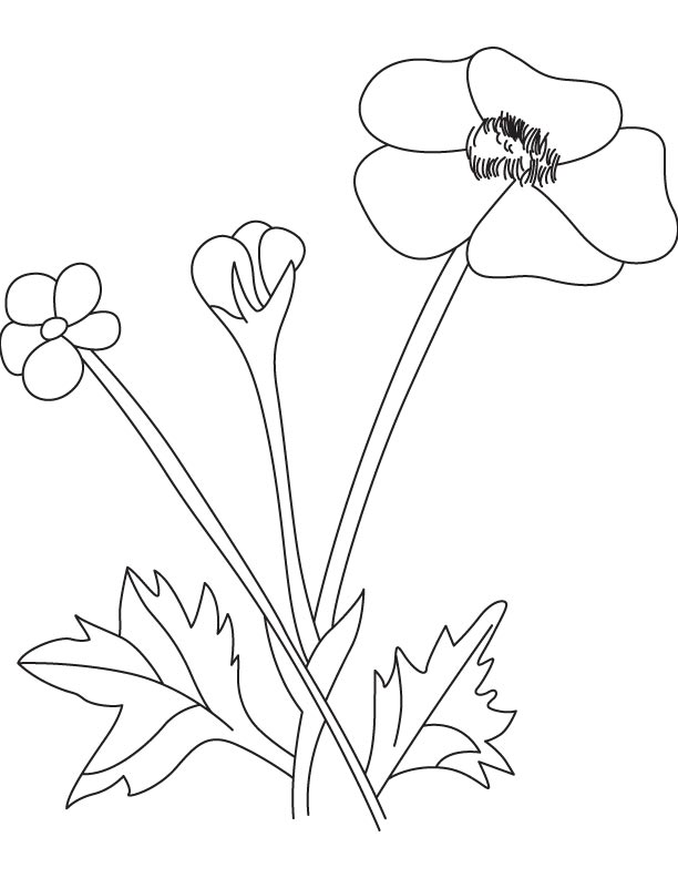 Buttercup flower with pod