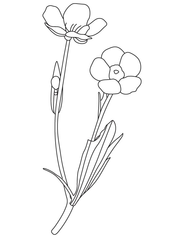 Buttercup spring flower coloring page