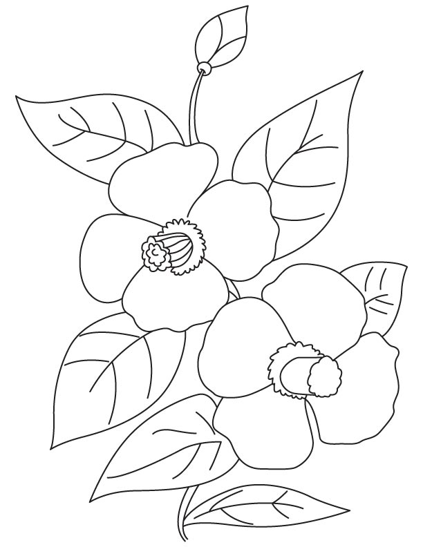 Camellia flowers coloring page