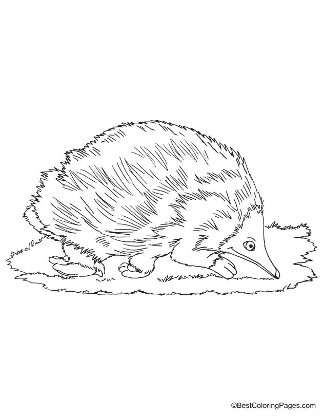 Echidna coloring page Download