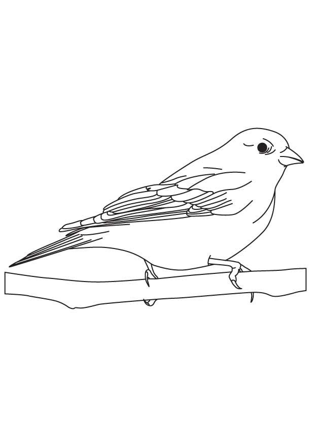 Finch bird coloring sheet
