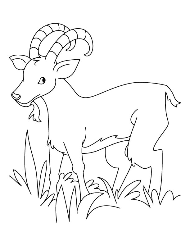 Grass Eater Ibex Coloring Pages