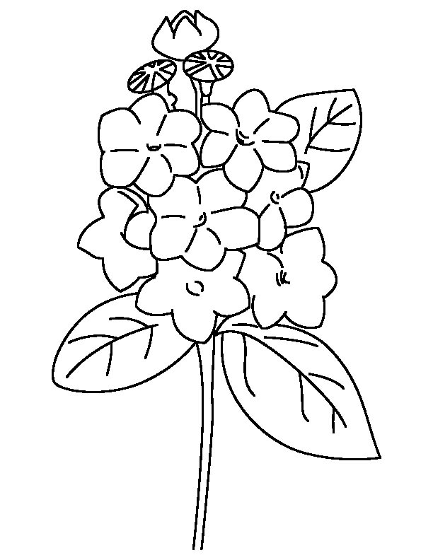 Mountain Laurel Coloring Page Download Free Mountain Laurel Coloring Page For Kids Best Coloring Pages