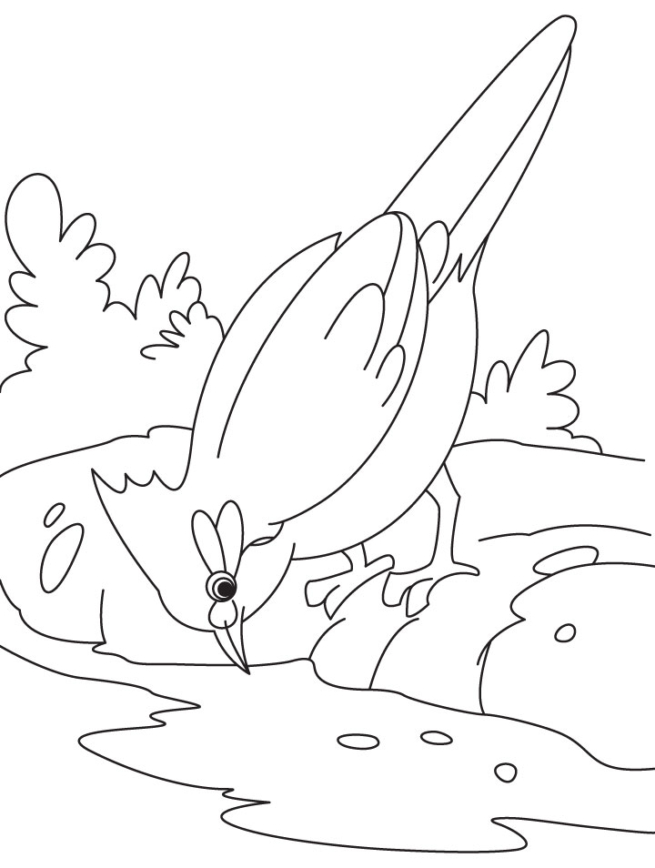 nightingale bird is drinking water coloring page download free