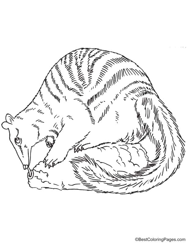 Numbat coloring page