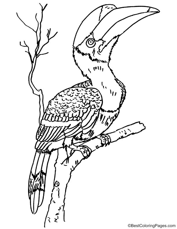 Hornbill Coloring Pages Kidsuki