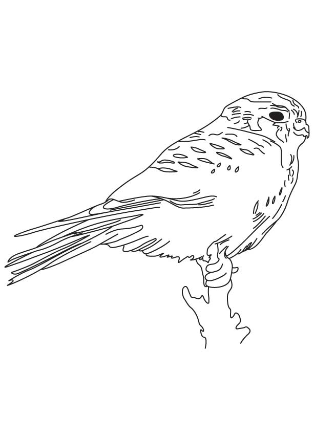 Young Kestrel Bird Coloring Page Download Free Young Kestrel Bird Coloring Page For Kids