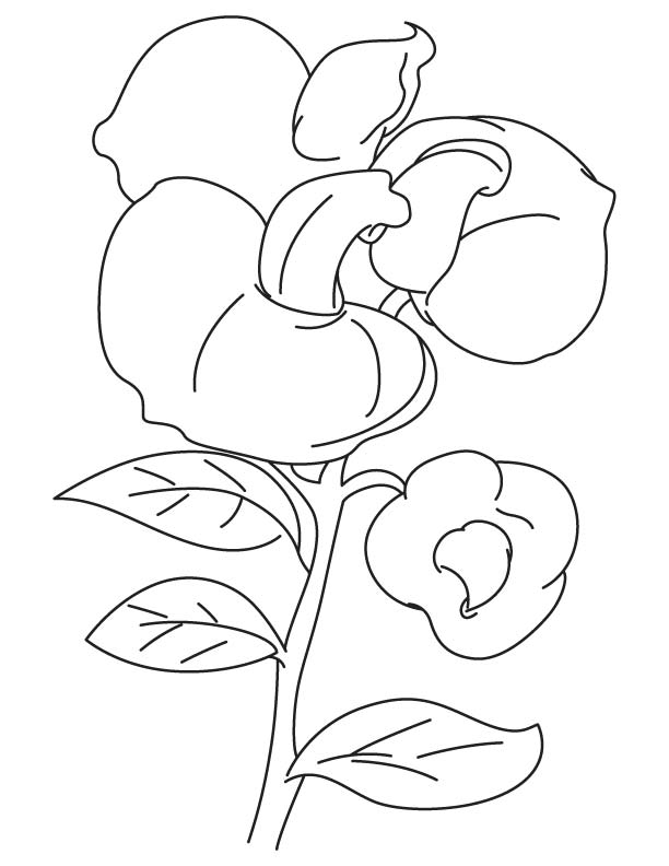 Sweet Pea Coloring Pages Coloring